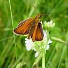 Skipper Moth by Laura S