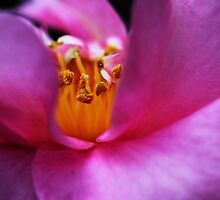 Pink Camellia's Heart by Evita