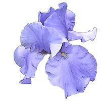 Purple Iris Illustration by CraftyCreepers