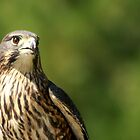 New Zealand Falcon by Bryony Griffiths