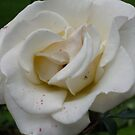 Dappled White Rose by Bea Godbee