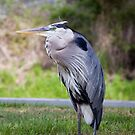 blue heron by Ted Petrovits