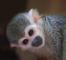 Squirrel Monkey II  by laureenr