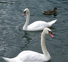 Swiss Swans by chijude