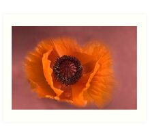 Papaver Rhoeas - Red Poppy Art Print