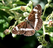 White Admiral by Neil Ludford
