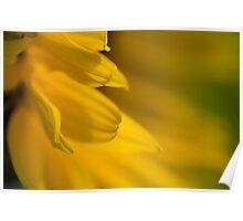 Sunflower petal Poster