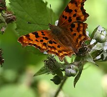 Comma Butterfly by Neil Ludford