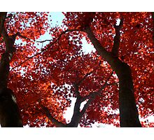Magnificent Maple Photographic Print