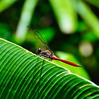 Red Dragonfly by Patrick Robertson