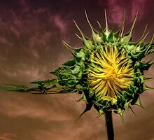 Young sunflower at dusk by Stevacek