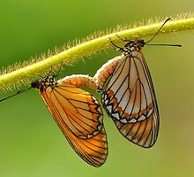 Yellow Coster Butterflies by Tony Wong