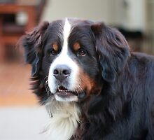 Bernese Mountain Dog by BBCsImagery