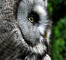 Great Grey Owl by Angus Russell