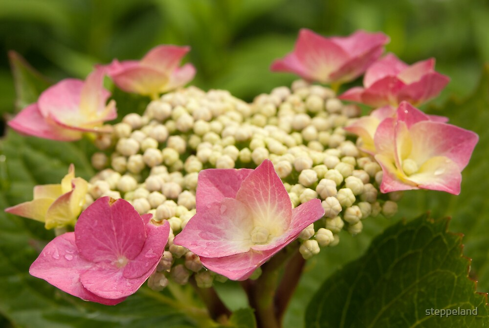 Circle of soft pink flowers by steppeland