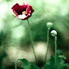 Poppy Portrait by DavidYates