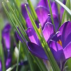 Purple Crocus by Saffron2287