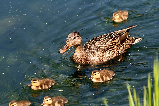 Mallard Family by Larry Trupp