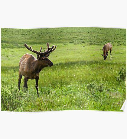 grazing elks Poster