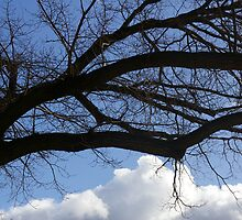 Elm Goes Out On A Limb by David McMahon