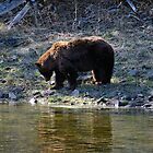 &quot;Cinnamon&quot; Black Bear - Reflection by Stephen Beattie