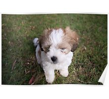 Innocent Puppy in Corindi Beach, New South Wales Poster