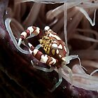 Crab in a Tube Anemone by Marcel Botman