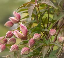 Clematis in bud by Judi Lion