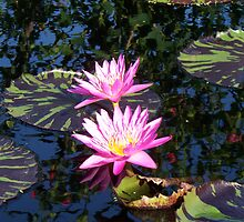Two Lilies on a pond by schiabor