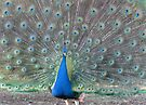 """""""Feed Store Peacock"""" by Ginny York"""