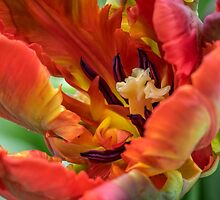 Red and yellow parrot tulip by Judi Lion