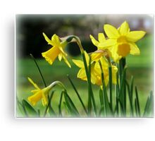 Daffodils by Sunlight Canvas Print
