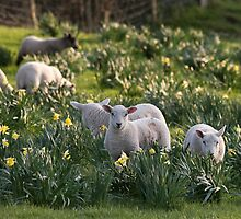 Spring Lambs #1 by Christopher Cullen