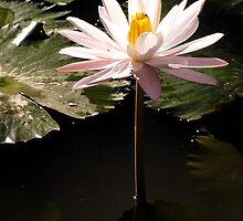 Water Lily in Murni's Villas, Bali by JonathaninBali