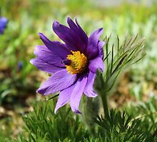 Pasque Flower by karina5