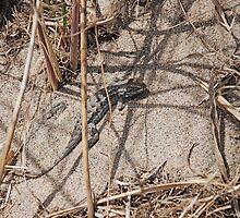 Sand Lizard by Diane Philips