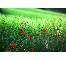 Green and poppies Photographic Print