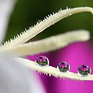 Balancing daisies by Melinda Gaal