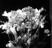 Orchids by jenniferanne