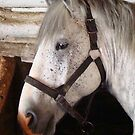 Grey Percheron Beauty by Al Bourassa