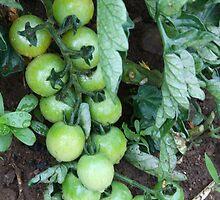 Tomato vine 2 by stellelove