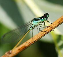 Damsel Flys eyes by Ben  Warren