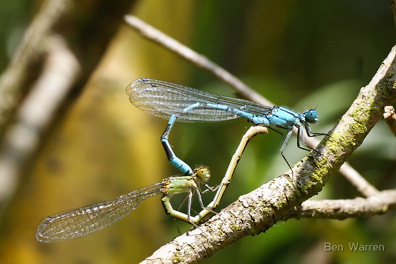 Damsel Flys mating by Ben  Warren
