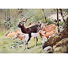Blackbuck Wildlife Painting Photographic Print