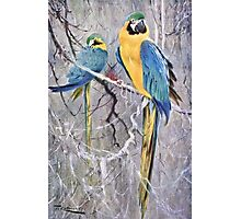 Blue and Gold Macaws Art Photographic Print