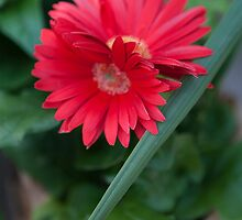 aster flower in the garden by spetenfia