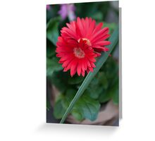 aster flower in the garden Greeting Card