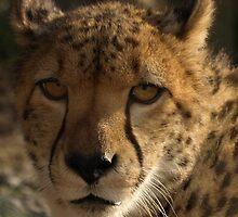 Male Cheetah by Franco De Luca Calce