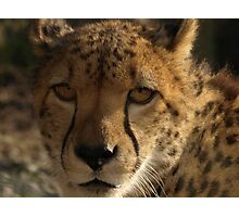 Male Cheetah Photographic Print