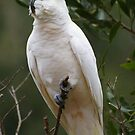 White Cockie by Leeanne Smale